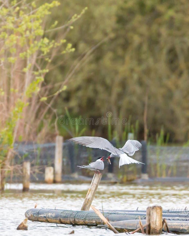 Tern przewożenie i latanie ryba w jego belfrze fotografia royalty free
