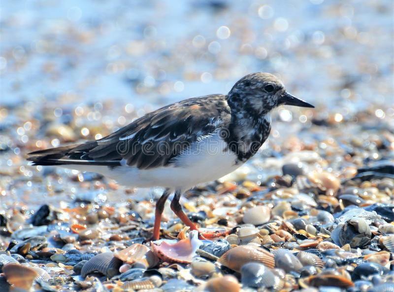 The Tern purposefully travels over the broken shells that line the beachfront as the tide shifts royalty free stock photo