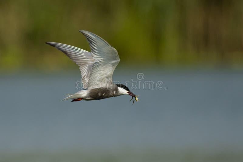 Tern Whiskered с лягушкой стоковое фото
