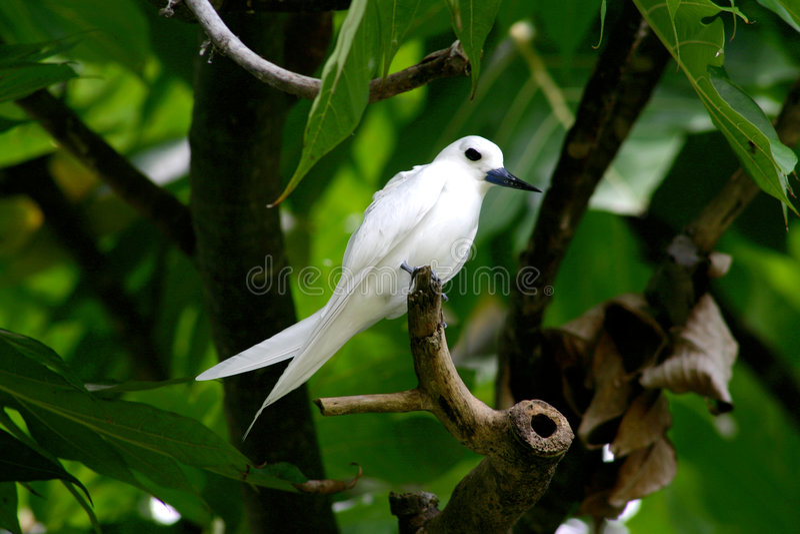 tern white στοκ εικόνα με δικαίωμα ελεύθερης χρήσης