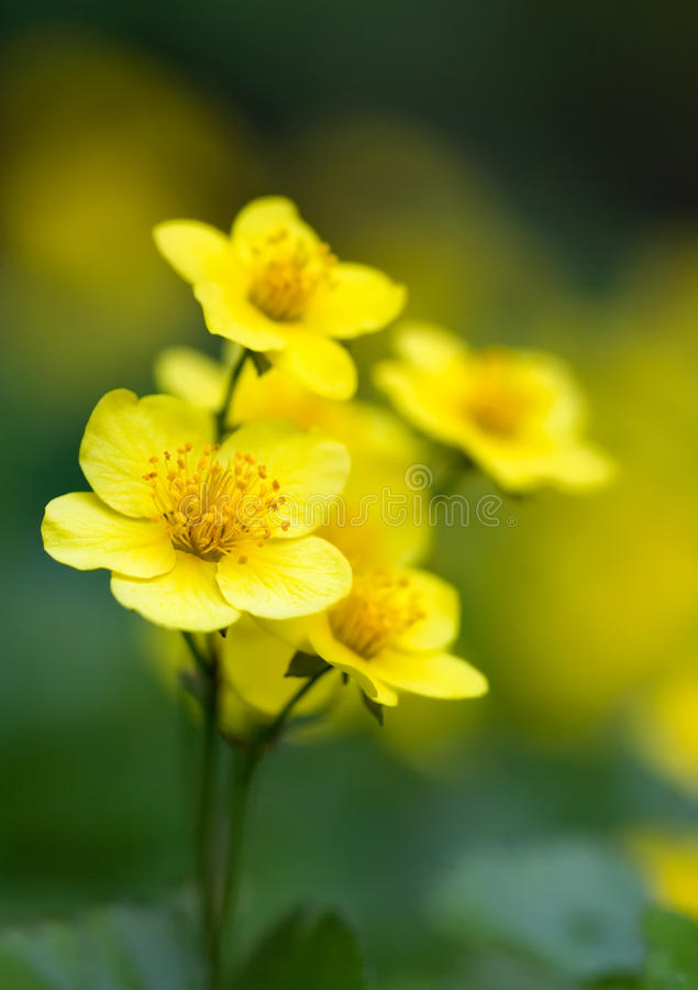 Ternata di Waldsteinia fotografia stock libera da diritti