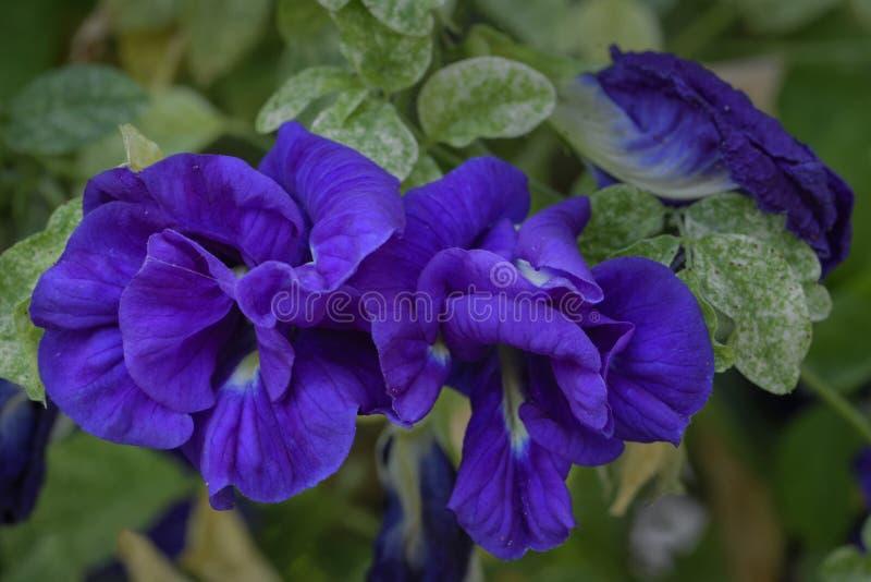 Ternatea Clitoria στοκ εικόνες