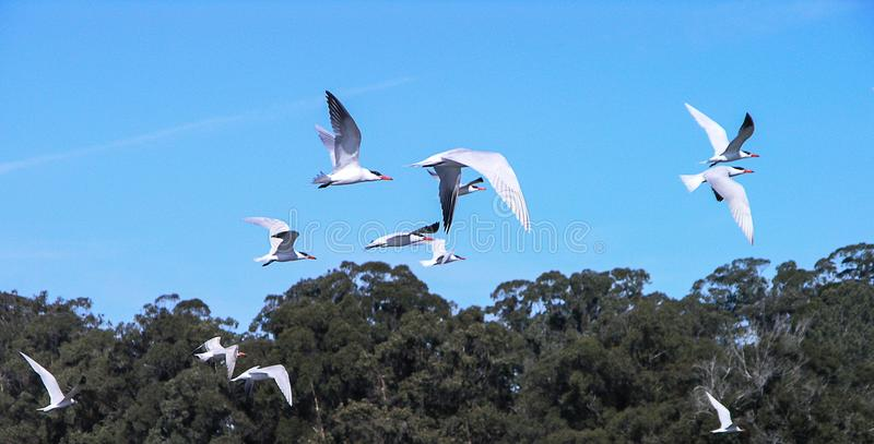 Terns Flocking into the Wild Blue Yonder. White terns wing their way into the bright blue sky royalty free stock photo