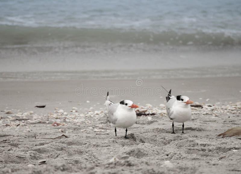 Terns royalty free stock photos