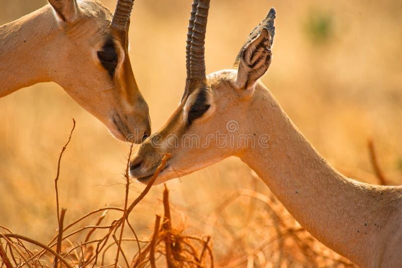 Ternura dos Gazelles de Grant´s imagem de stock