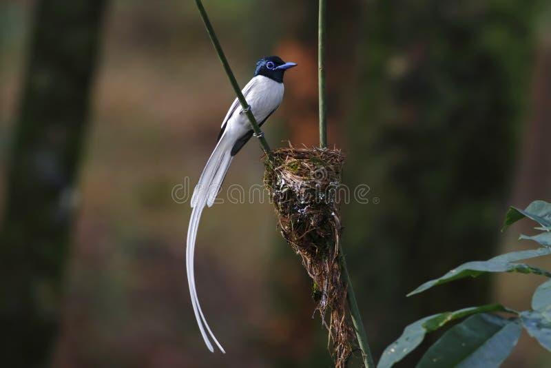 Terpsiphone för asiatisk paradisflugsnappare paradisi manlig vit morf royaltyfri foto