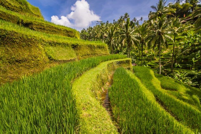 Terraço do arroz de Tegallalang foto de stock