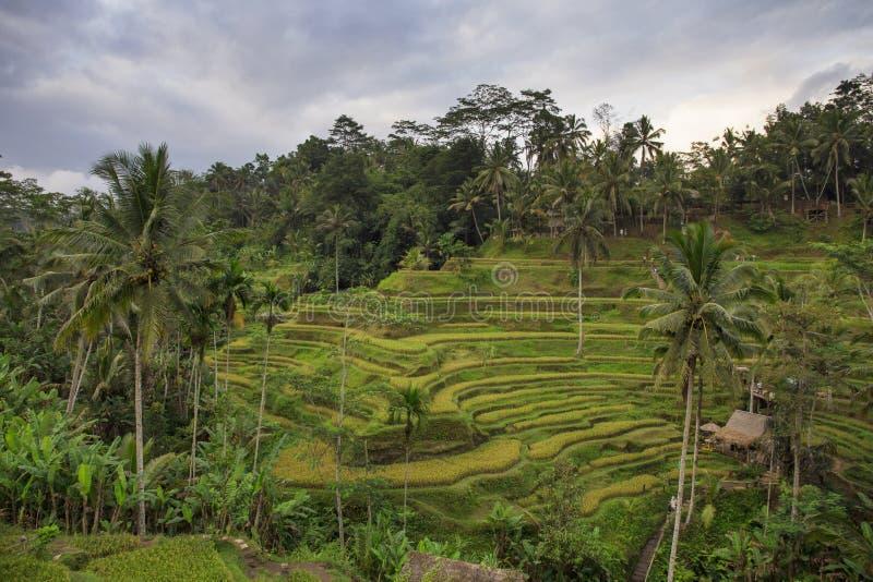 Terraço do campo do arroz em Ubud, Bali, Indonésia fotos de stock royalty free