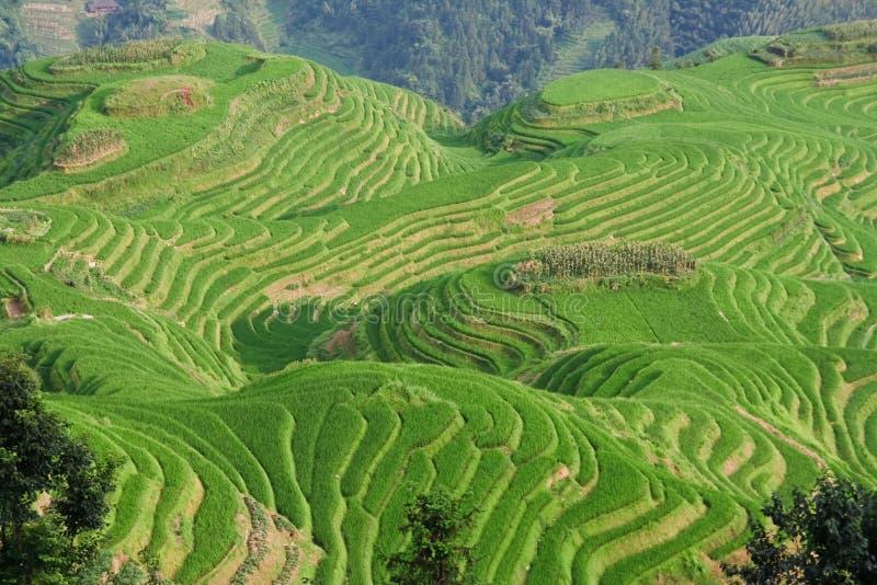 Terraço do campo do arroz de Guilin fotografia de stock