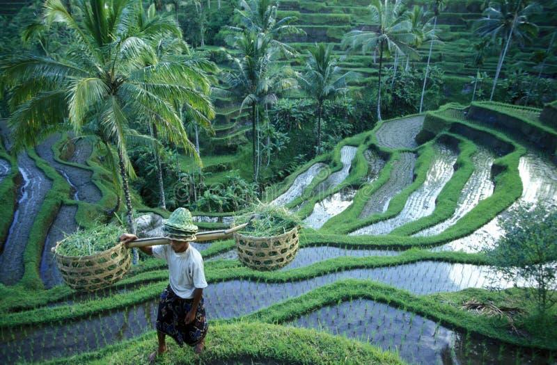 TERRAÇO UBUD TEGALLALANG DO ARROZ DE ÁSIA INDONÉSIA BALI imagens de stock royalty free