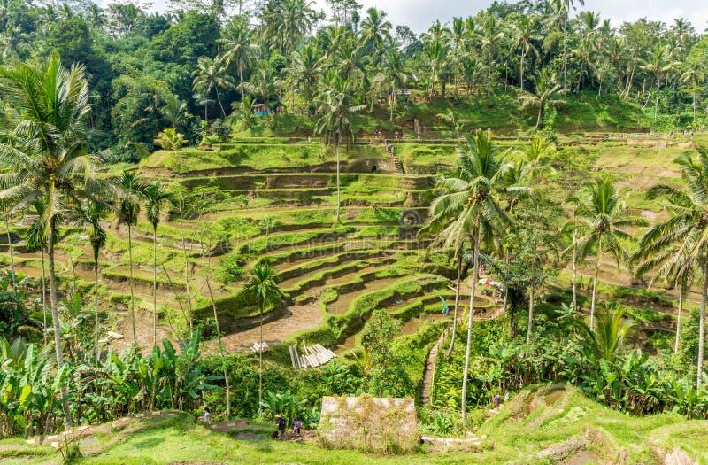 Terraços do arroz em Tegallalang, Ubud, Bali, Indonésia imagem de stock