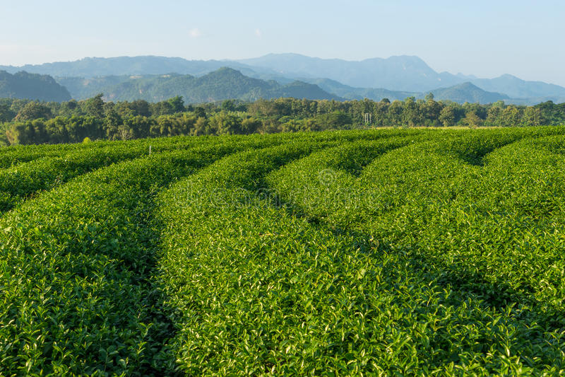 Terraços do chá verde no monte na província de Chiang Rai, Tailândia fotografia de stock