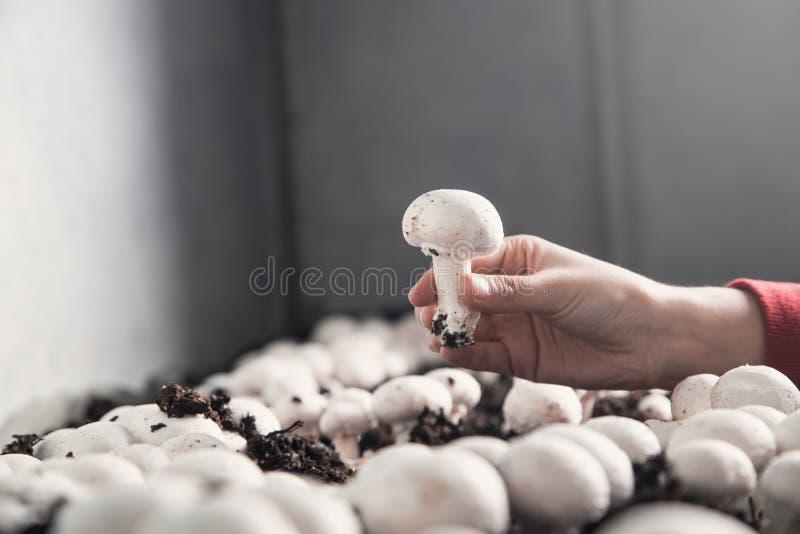 A terra arrendada da m?o cresce rapidamente cogumelos na explora??o agr?cola imagem de stock royalty free