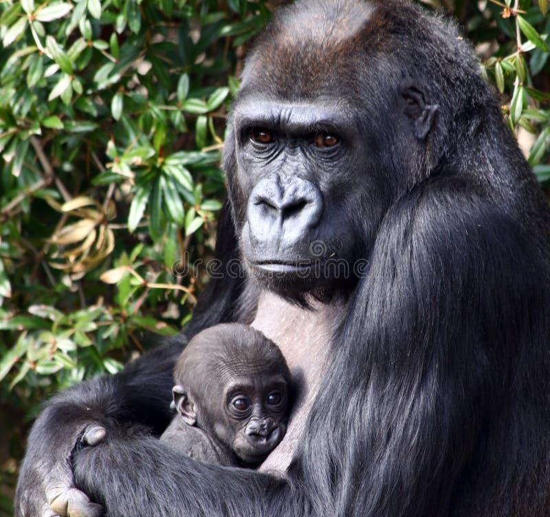 Terra arrendada do gorila de planície ocidental seu Bab recém-nascido fotografia de stock royalty free