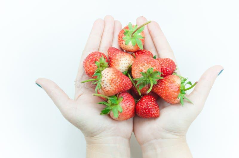 Terra arrendada fresca da mão da mulher das morangos, uma morango apetitosa na mão de arrelia do ` s da mulher no branco imagem de stock