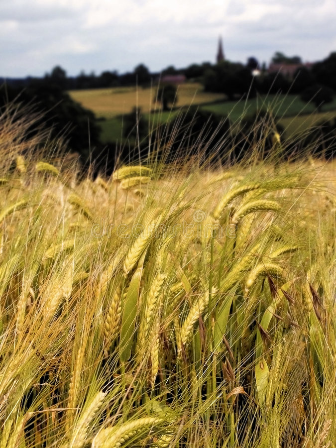 Terra com colheitas do cereal fotografia de stock