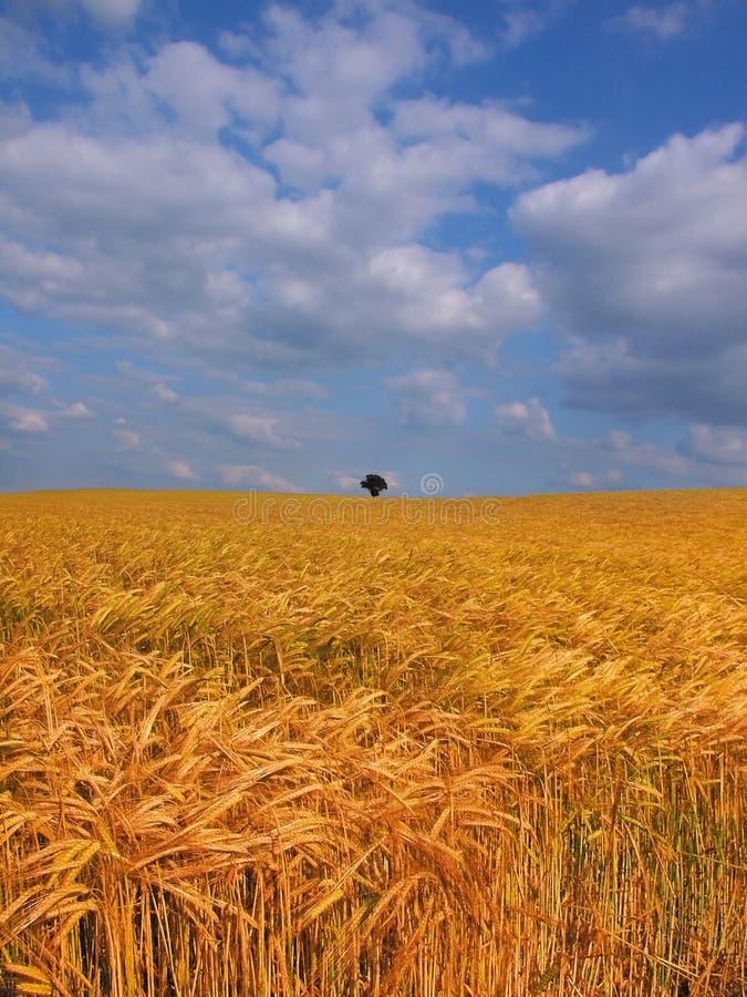 Terra com colheitas do cereal imagem de stock royalty free
