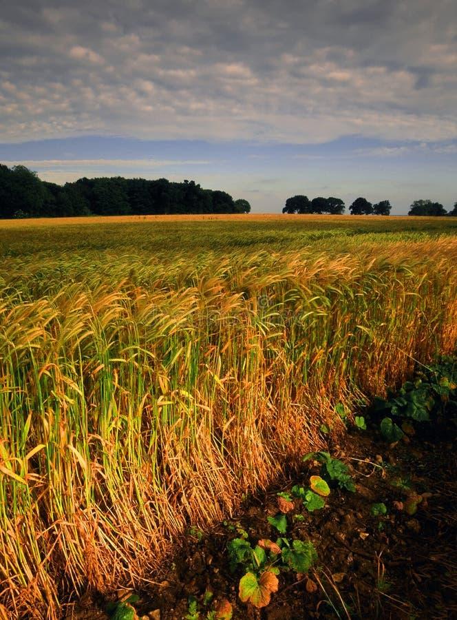 Terra com colheitas do cereal fotos de stock royalty free