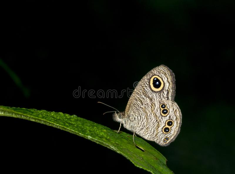 Terra comum cinco Ring Butterfly em montes de Garo, Meghalaya, Índia foto de stock