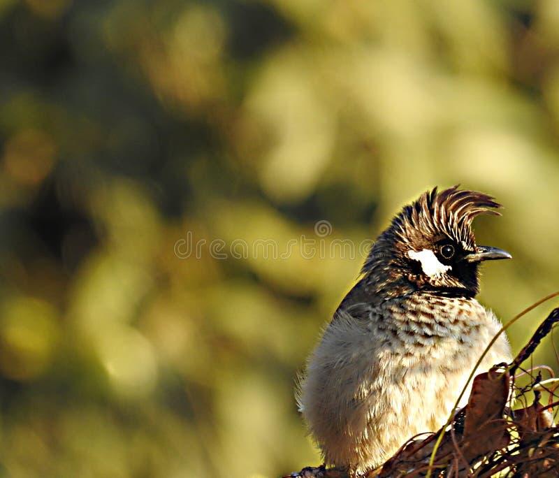 A terra comum oriental maravilhosa mimica a borboleta do clytia do clytia do papilio foto de stock royalty free
