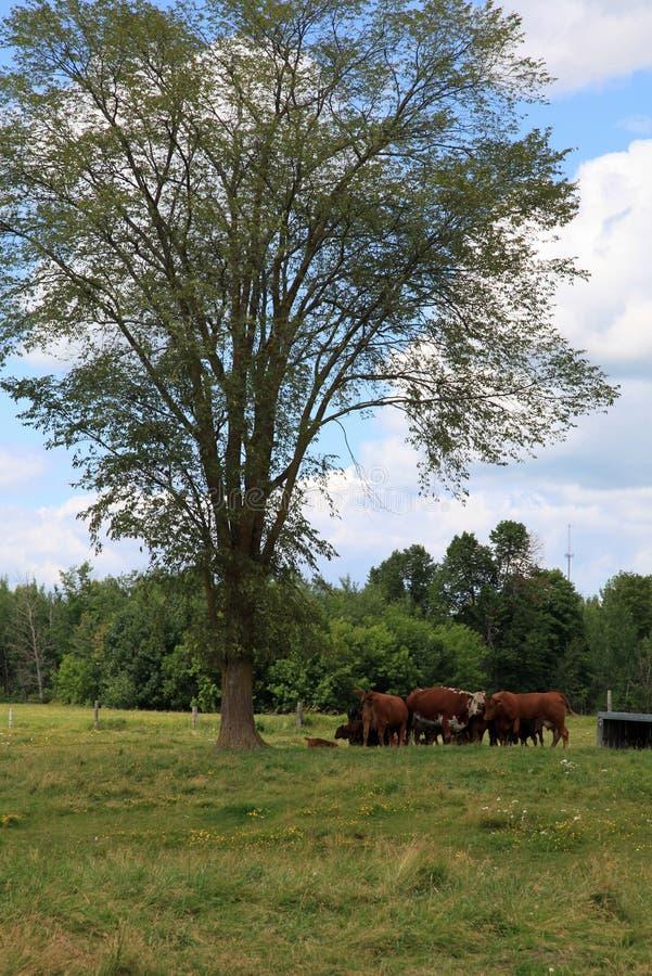 Terra de pasto e gados bovinos foto de stock royalty free