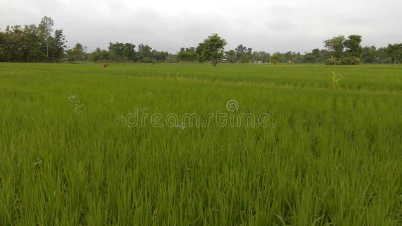 Terra do arroz fotografia de stock royalty free