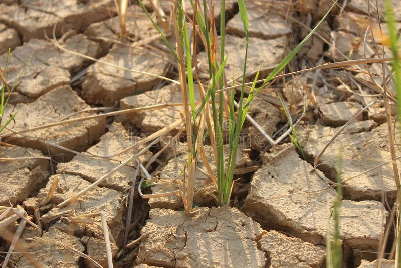 A terra do arroz estéril não podia executar devido à plantação foto de stock