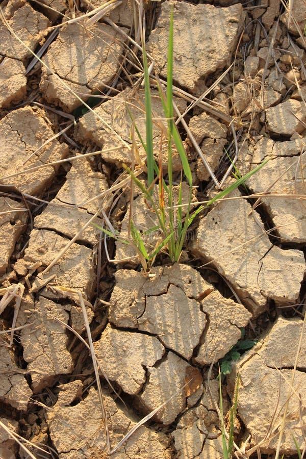 A terra do arroz estéril não podia executar devido à plantação fotografia de stock
