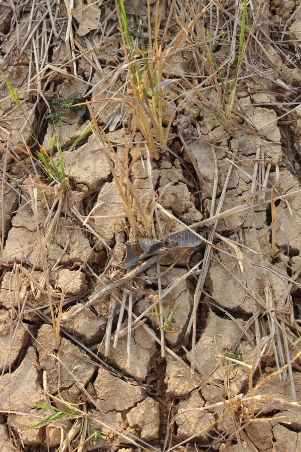A terra do arroz estéril não podia executar devido à plantação fotos de stock royalty free