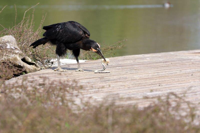 Terra-hornbill Abyssinian fotografia de stock royalty free