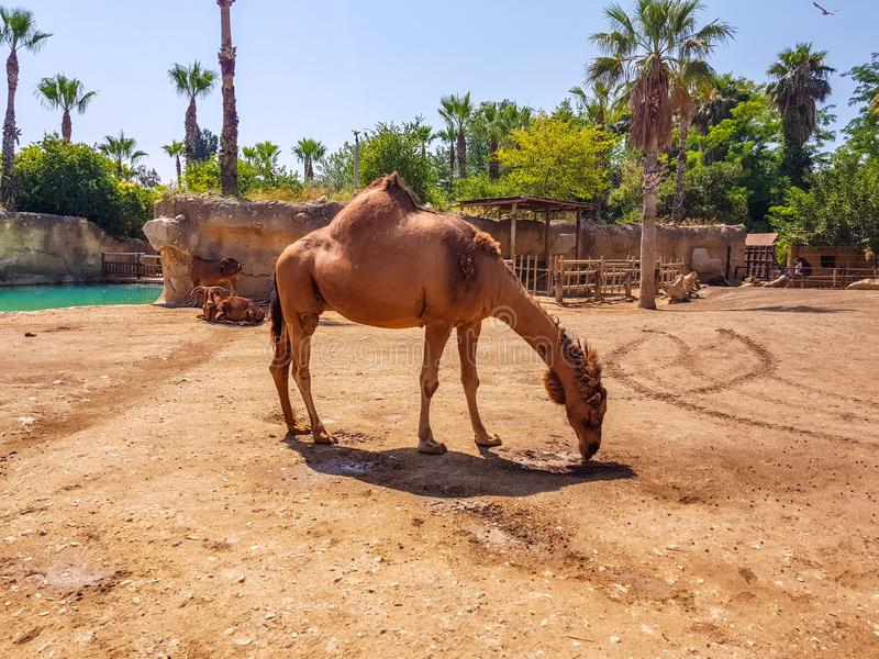 Terra Natura, Benidorm, Spain; August 15, 2019: dromedary in your recreation area stock images