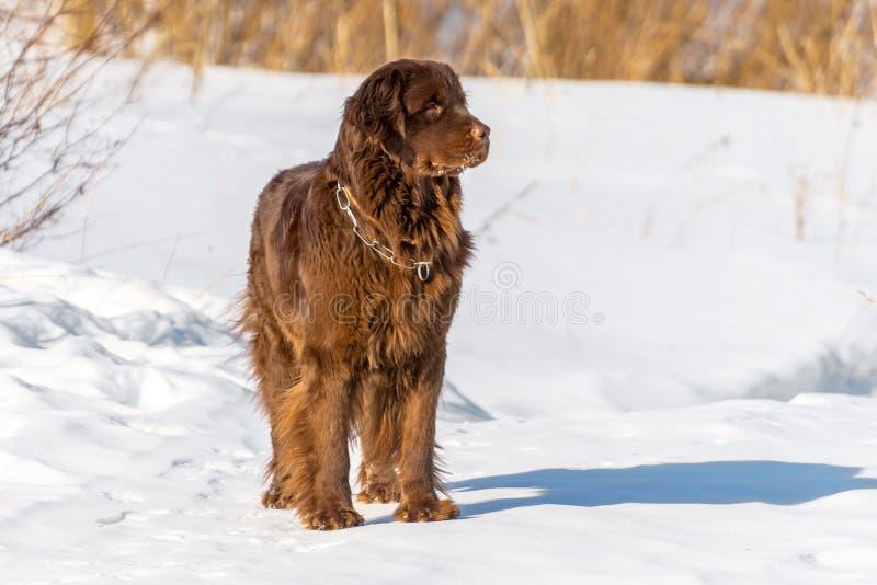 Terra Nova bronzeia o cão que olha ao redor no dia ensolarado do inverno fotografia de stock