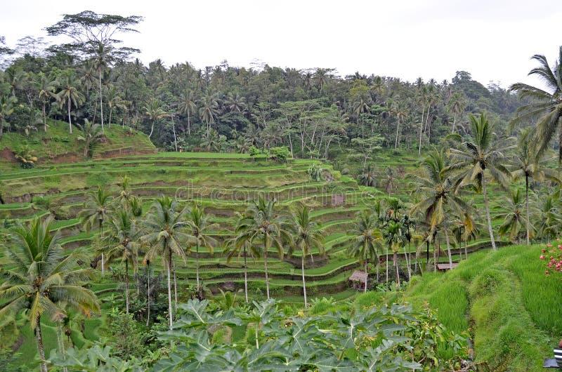 Terra?os do arroz A natureza bonita de Bali foto de stock royalty free