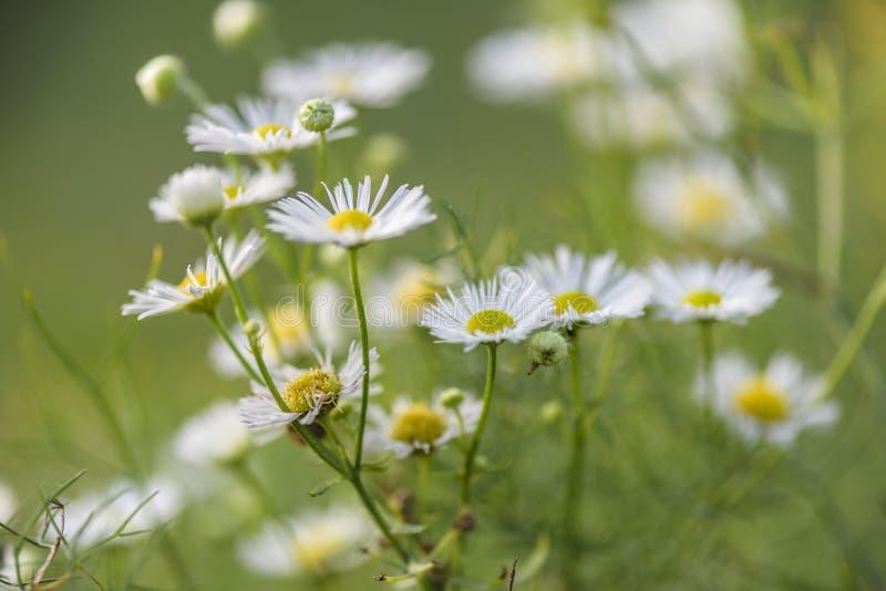 Terra posteriore dell'estratto con la margherita del fiore fotografia stock libera da diritti