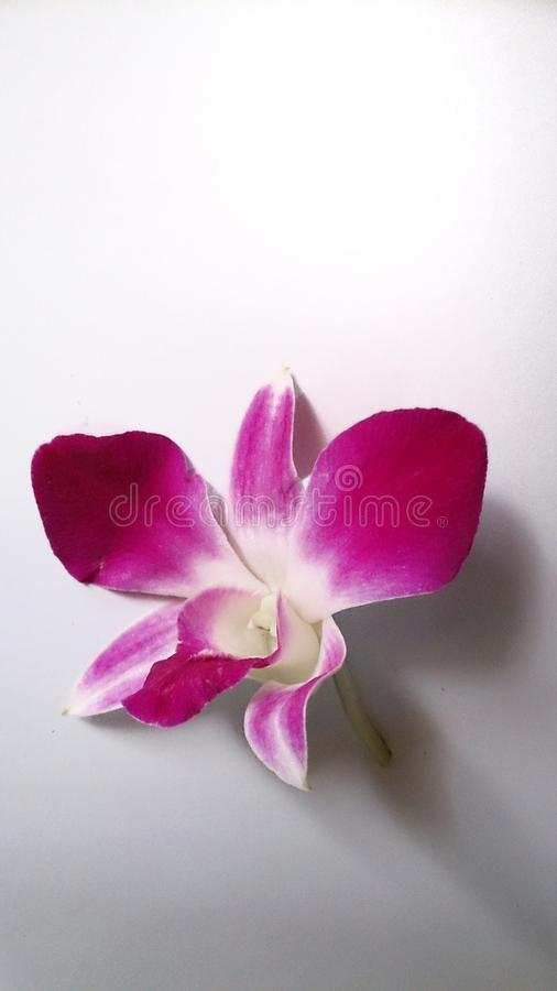 terra rosa del nero dell'orchidea fotografia stock libera da diritti