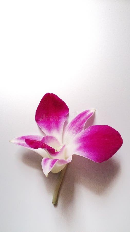 terra rosa del nero dell'orchidea fotografie stock libere da diritti