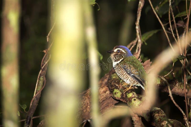Terra-rullo squamoso, squamigera di Brachypteracias, nella foresta, il Madagascar fotografia stock libera da diritti