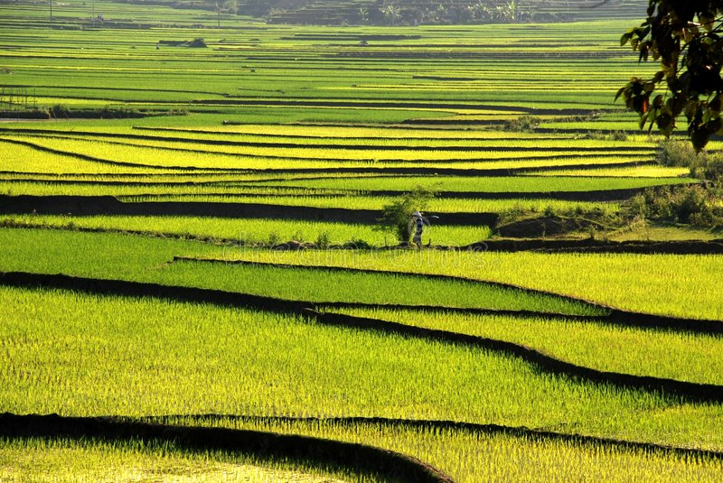 Terrace rice field in Vietnam stock image