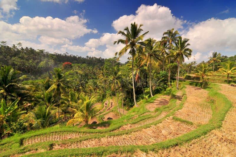 Terrace rice fields, Bali, Indonesia.  stock photo