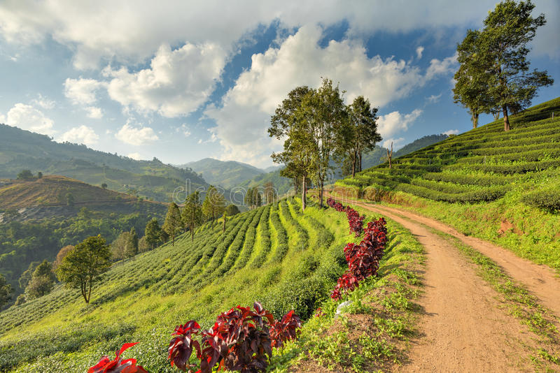 Terrace Tea Plantation with Mist Cloud Sky at Doi Mae Salong Mountain, Chiangrai, Thailand royalty free stock photography