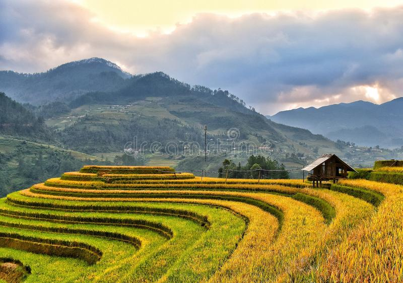 The terraced field on its golden season royalty free stock photos