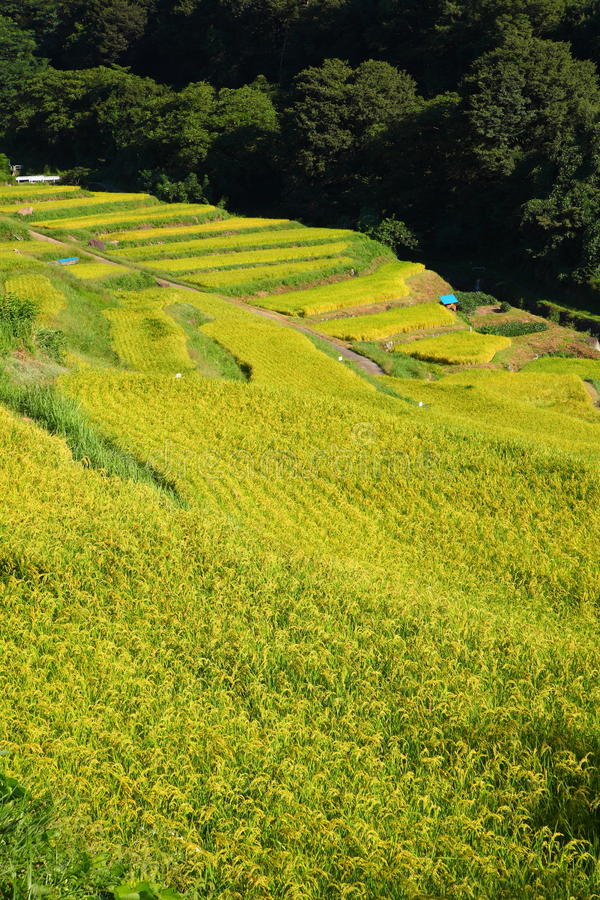 Download Terraced rice field stock photo. Image of scenery, farm - 21077260