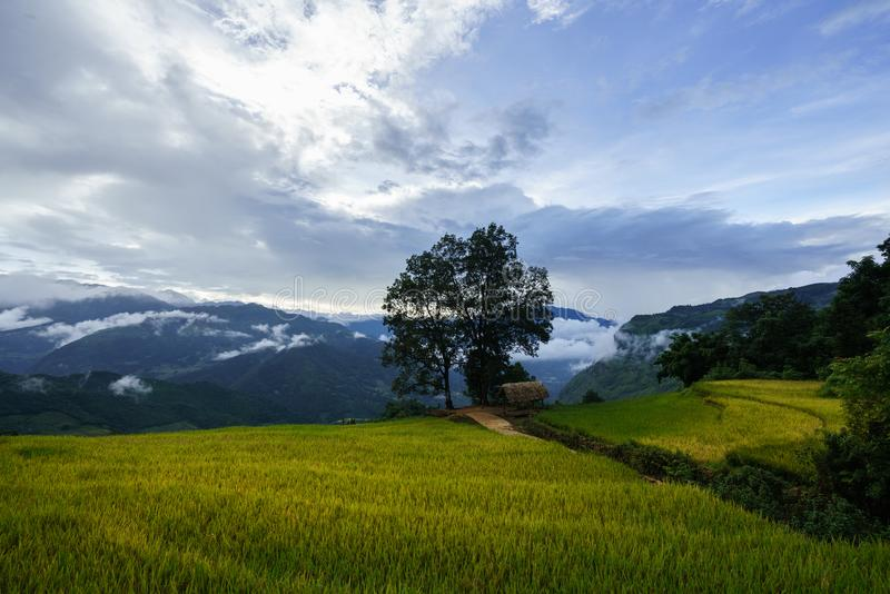 Terraced rice field landscape in harvesting season with big tree and low clouds in Y Ty, Bat Xat district, Lao Cai, north Vietnam.  stock photography