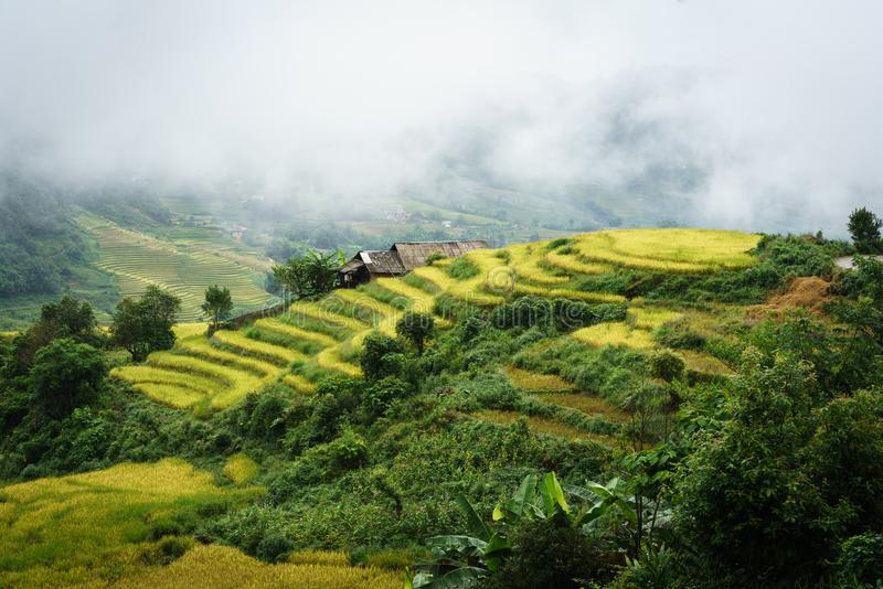Terraced rice field landscape in harvesting season with low clouds in Y Ty, Bat Xat district, Lao Cai, north Vietnam.  royalty free stock images