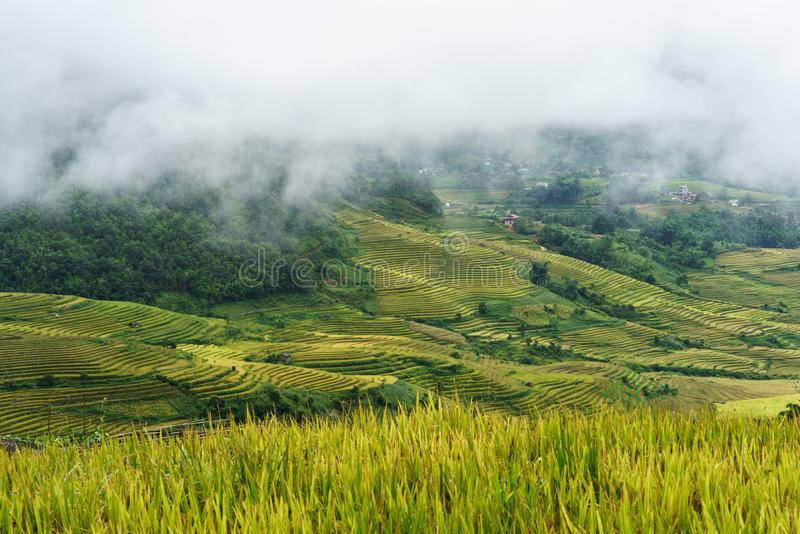 Terraced rice field landscape in harvesting season with low clouds in Y Ty, Bat Xat district, Lao Cai, north Vietnam.  stock photos