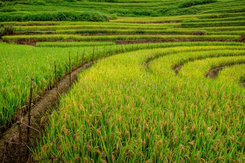 Terrest Rice field SAPA, VIETNAM. Terraced rice field in morning in water season, the time before starting grow rice in Y Ty, Lao Cai province, Vietnam stock image