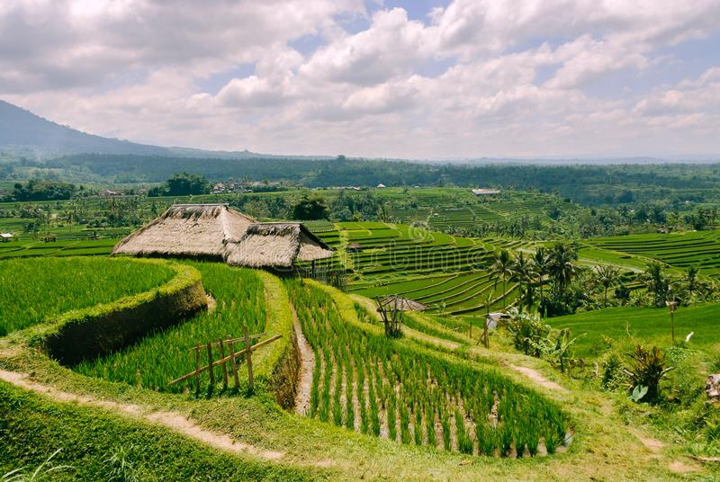Terraced Rice Fields in Bali stock photos