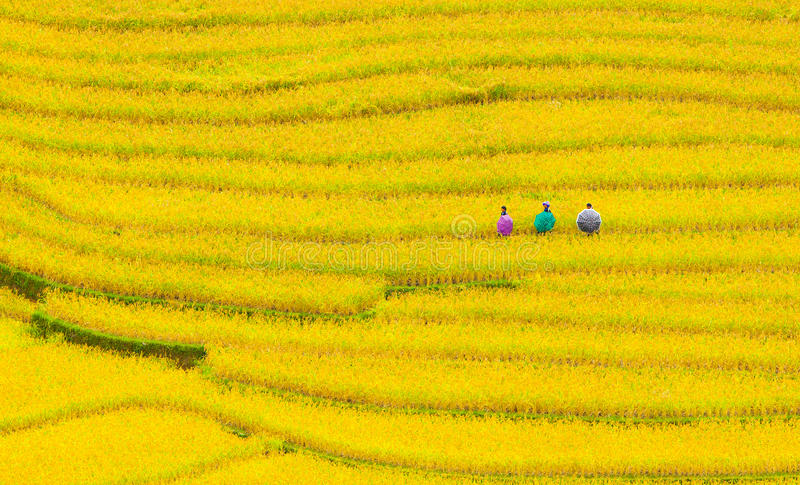 Terraced rice fields royalty free stock images