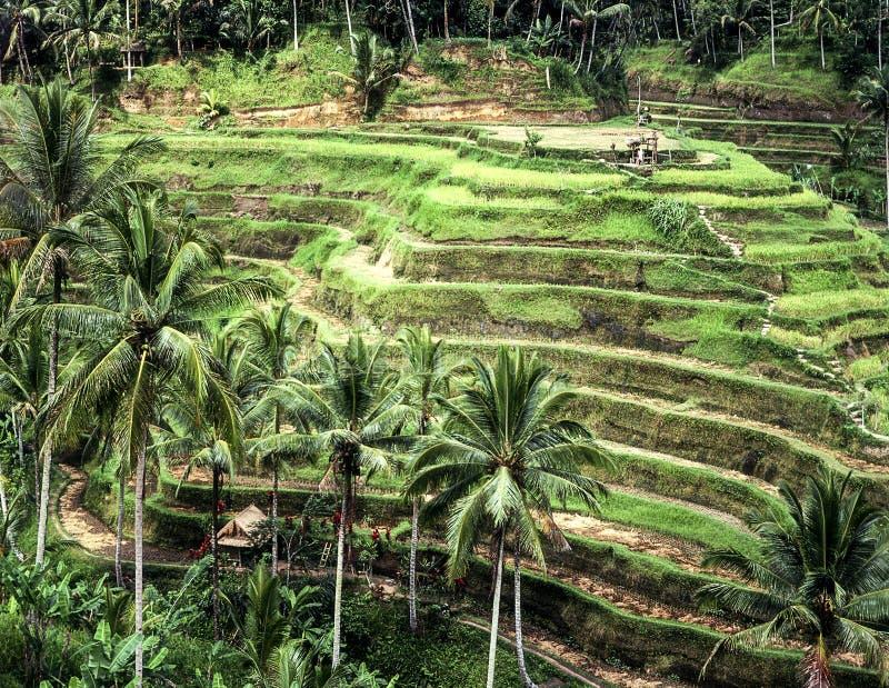 Download Terraced Rice Paddies On Bali Stock Image - Image: 28274973