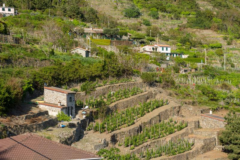 Terraced vinyard on a steep hill. Agricultre in Cinque terre, Italy royalty free stock image